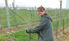 New Source of Workers for Vineyards as Grapes Recover