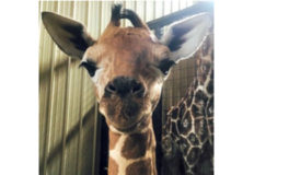 First Giraffe Calf Born at Living Treasures Park