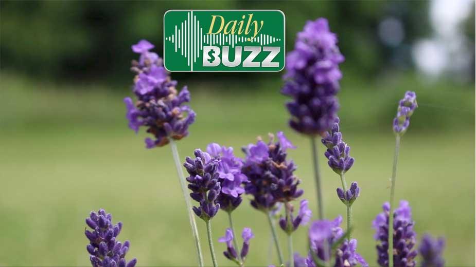 Fairlamb Lavender Farm